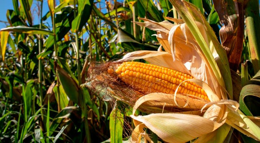 Efeito pandemia: Conselho Internacional projeta encolhimento de produção global de milho na safra 2020/21