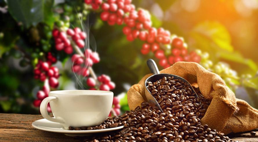 Estudo britânico revela que 60% das espécies de café do mundo estão ameaçadas de extinção. Desmatamento e mudanças climáticas estão entre os vilões