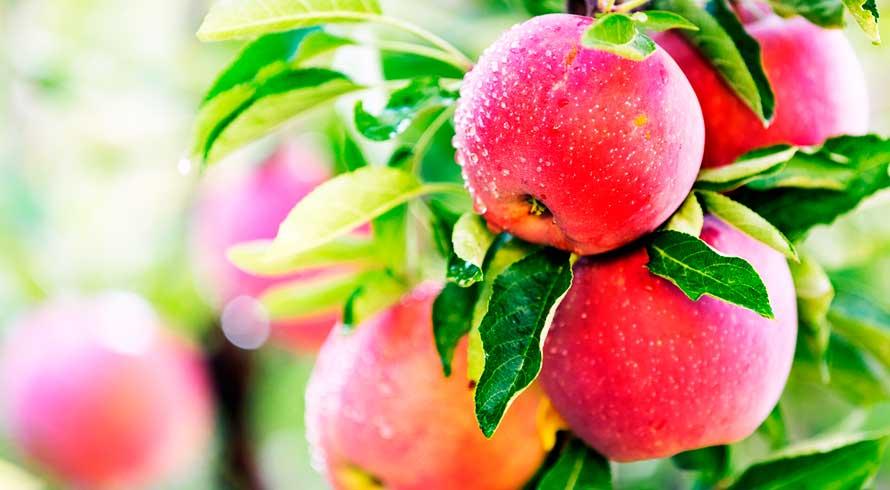 O papel da maçã na economia nacional