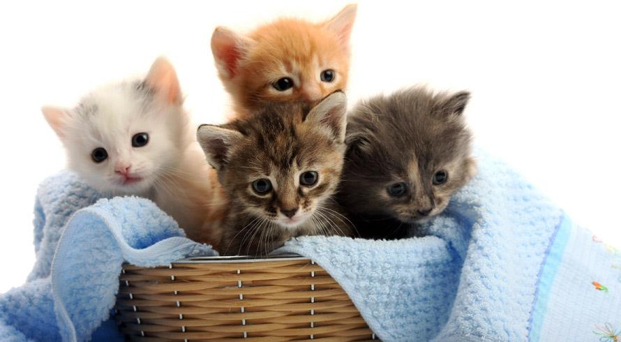Será que quando ronronam, os gatos estão expressando apenas carinho?